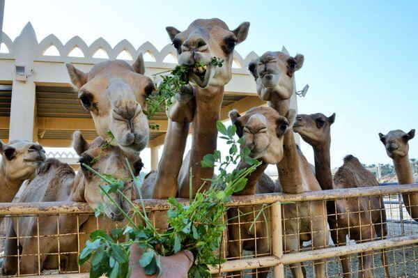 Královská velbloudí farma v Bahrajnu - Sputnik Česká republika