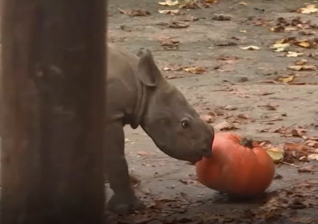 Maličkatý nosorožec si užívá život ve Dvoře Králové