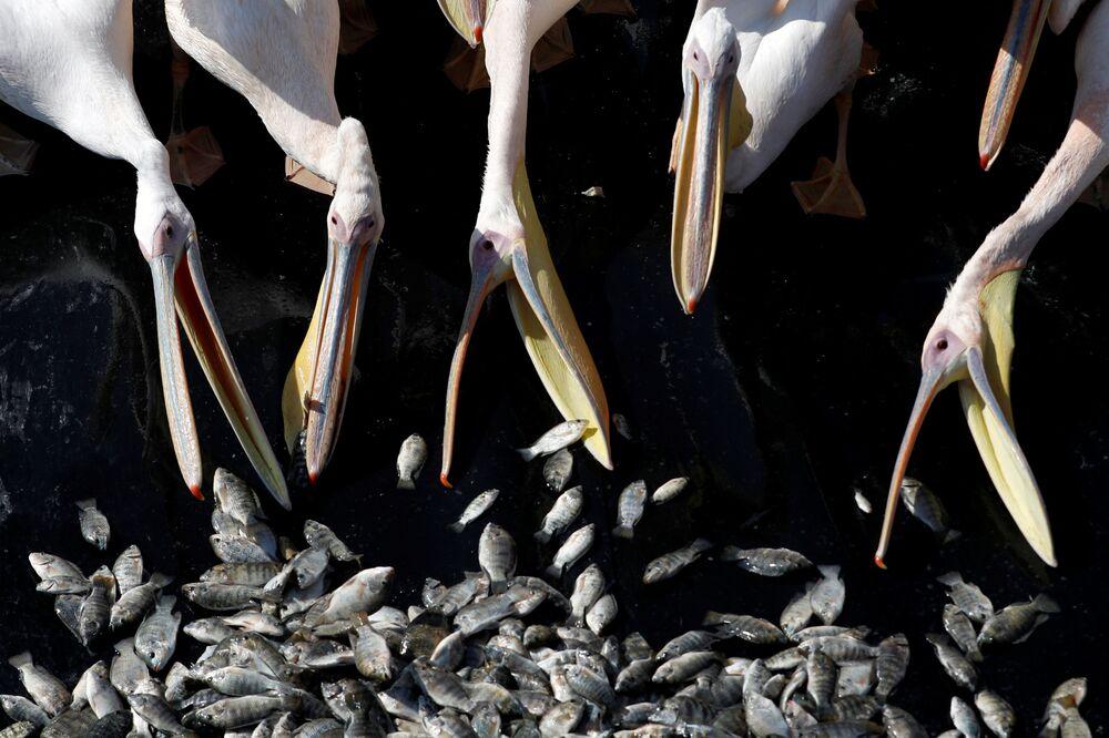 Pelikáni během krmení v rámci speciálního izraelského programu, jehož cílem je, aby pelikáni nejedli ryby