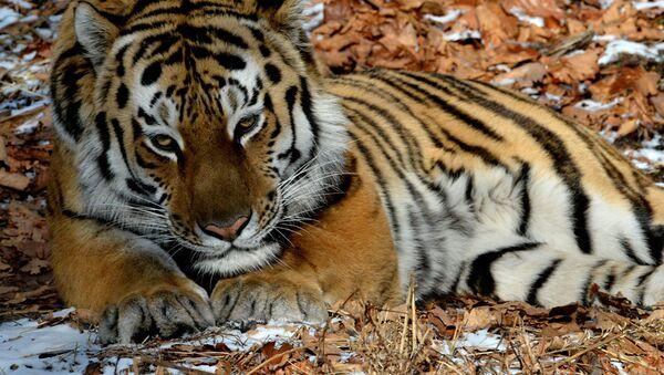 Tygr ussurijský. Ilustrační foto - Sputnik Česká republika