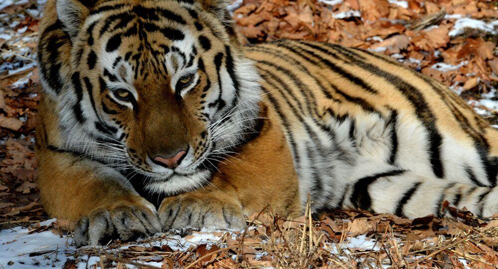 Tygr ussurijský. Ilustrační foto