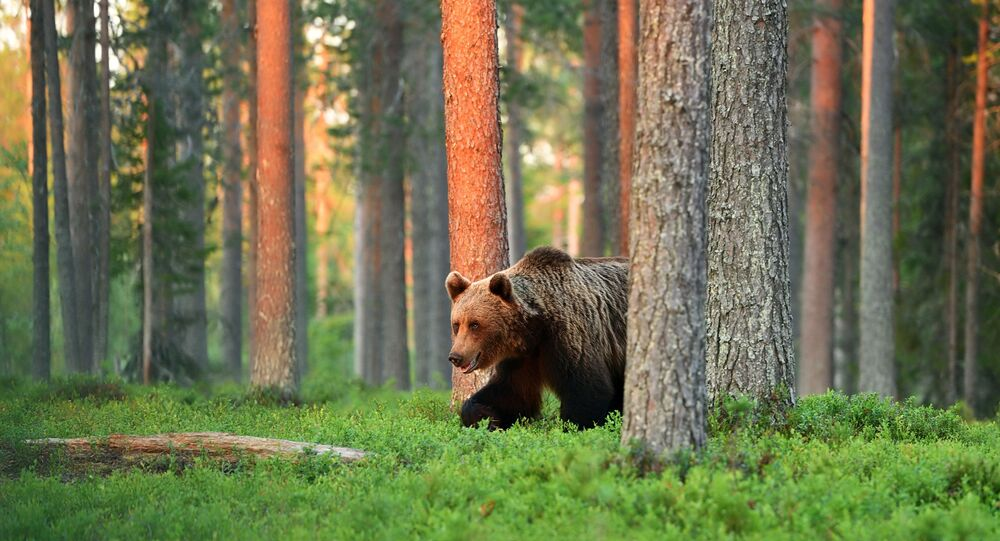 Medvěd v lese. Ilustrační foto