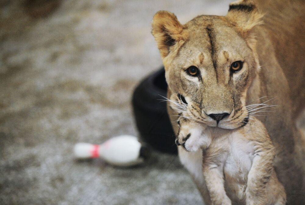 Africká lvice Emma s jedním ze tří lvíčat, jež se narodila 30. září v jekatěrinburské zoo