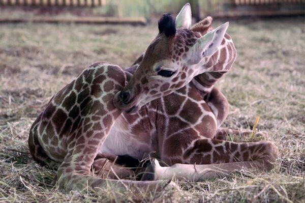 Maličká žirafa v Kaliningradské zoo - Sputnik Česká republika