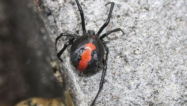 Pavouk australská vdova - Sputnik Česká republika