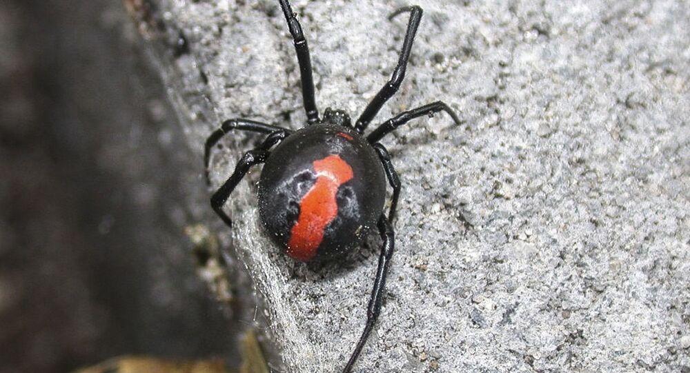 Pavouk australská vdova