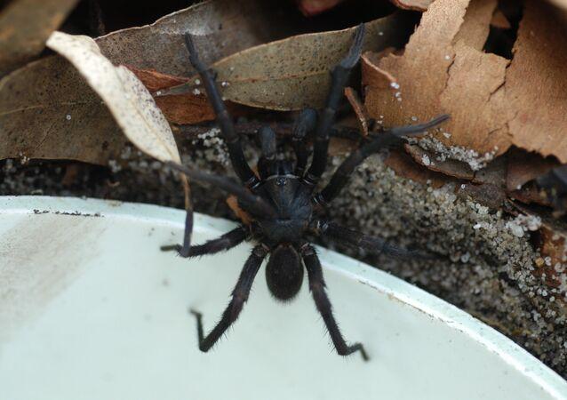 Pavouk Atrax robustus