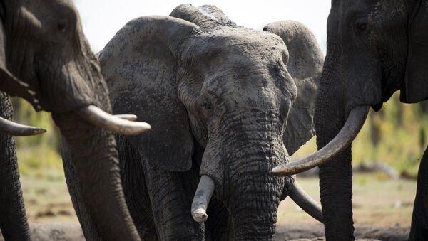 Sloni. Ilustrační foto - Sputnik Česká republika