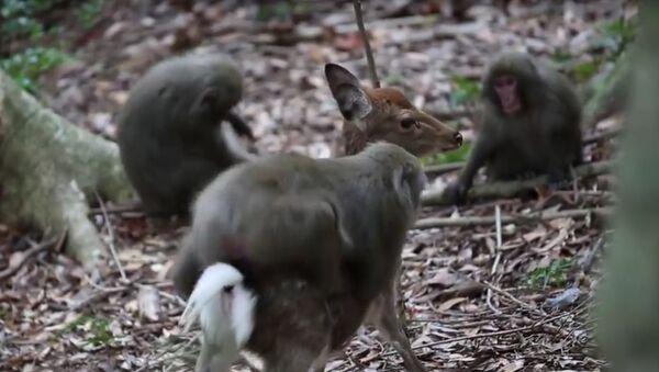 Neobyčejný sexuální styk: Makak červenolící kopuluje v Japonsku s jelenem. Video - Sputnik Česká republika