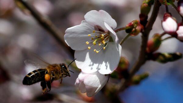 Včela u višně - Sputnik Česká republika