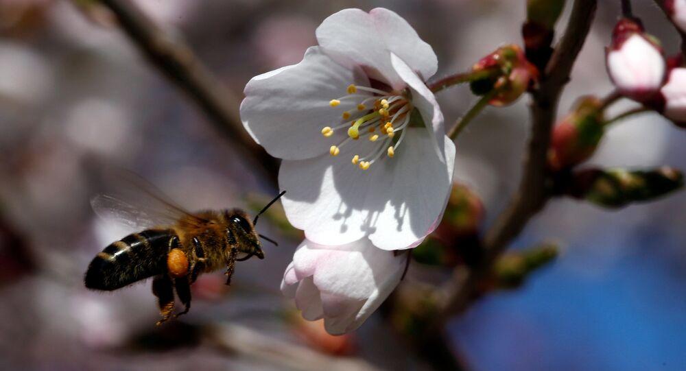 Včela u višně