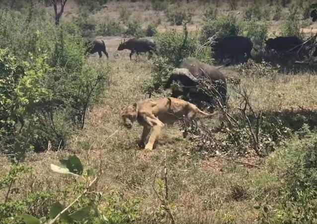 Boj lvice a buvolu byl natočen na video