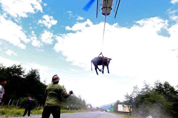 Přeprava krávy z chilské vesnice Santa Lucia, která byla zasažena sesuvem půdy - Sputnik Česká republika