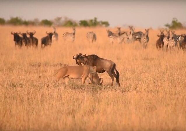 Boj lvice a pakoně se dostal na video