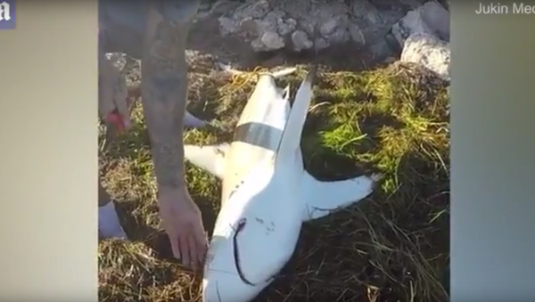Žralok div neukousl ruku Američanovi, který se ho pokoušel zachránit. Video - Sputnik Česká republika