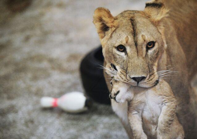 Africká lvice Emma s jedním ze tří lvíčat v Jekatěrinburgské ZOO