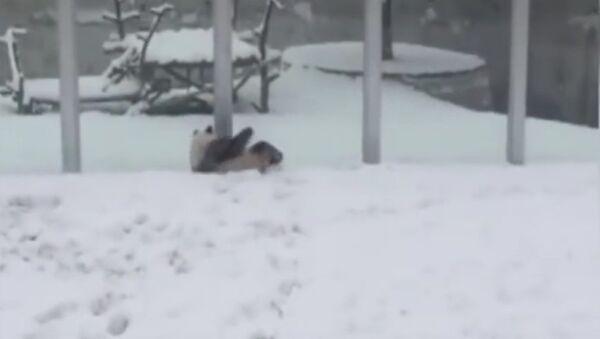 Panda, radující se z prvního sněhu, okouzlila uživatele sítě - Sputnik Česká republika