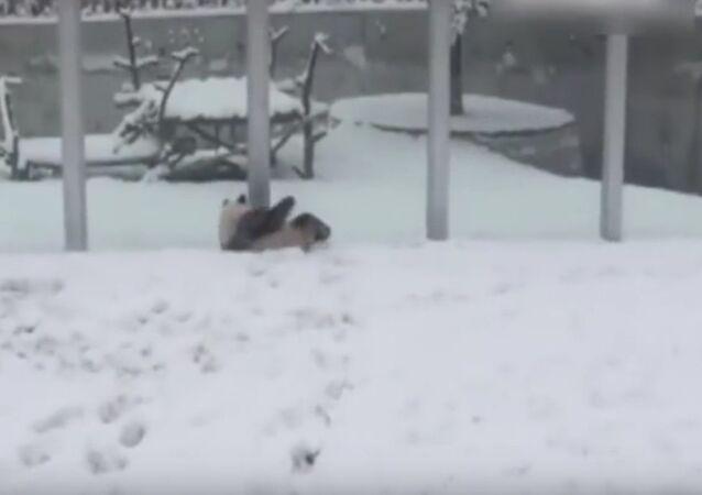 Panda, radující se z prvního sněhu, okouzlila uživatele sítě