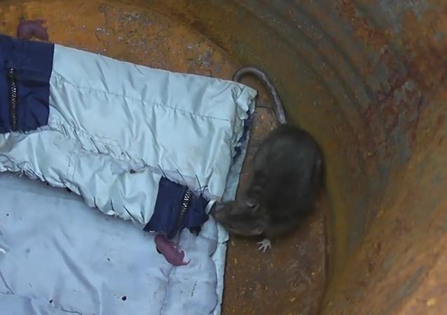 Krysa porodila v pasti na myši
