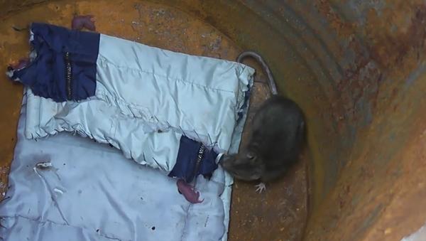 Krysa porodila v pasti na myši - Sputnik Česká republika