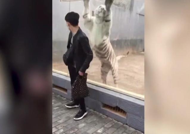 Tygr se rozhodl zaútočit na návštěvníky zoo, ale zapomněl na skleněnou ohradu