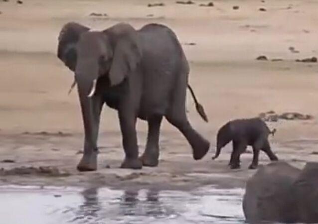 Napadení hrochů ze strany rozezleného slona se dostalo na video. Video