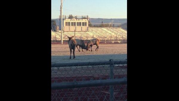 Zápas jelenů na stadionu se dostal na video - Sputnik Česká republika