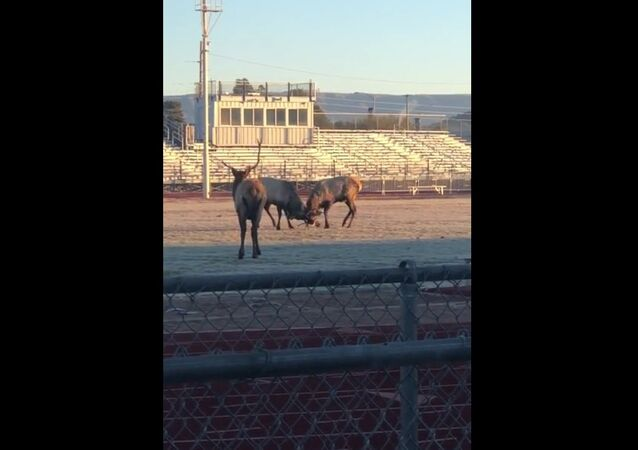 Zápas jelenů na stadionu se dostal na video