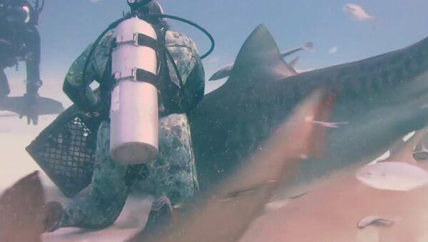 Potápěči krmili z ruky žraloka tygřího. Video - Sputnik Česká republika