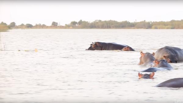 Stádo hrochů zahnalo jednoho z nejagresívnějších žraloků - Sputnik Česká republika