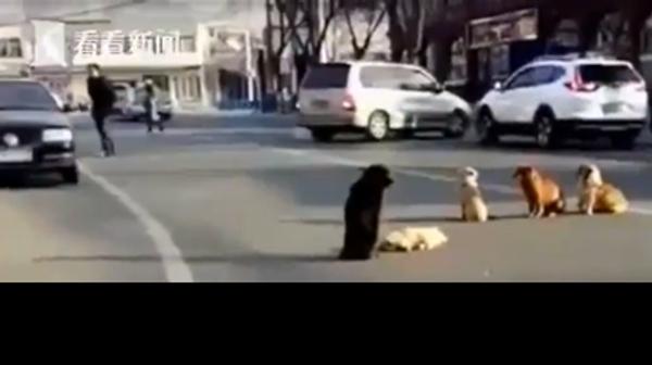 Čtyři toulaví psi chrání na silnici svého kamaráda, kterého srazilo auto - Sputnik Česká republika
