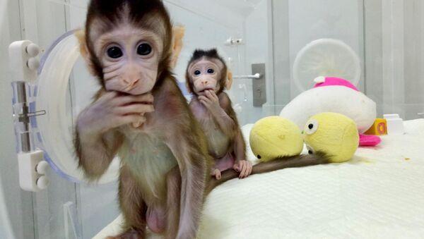 Klonované opice Zhong Zhong a Hua Hua v Číně - Sputnik Česká republika