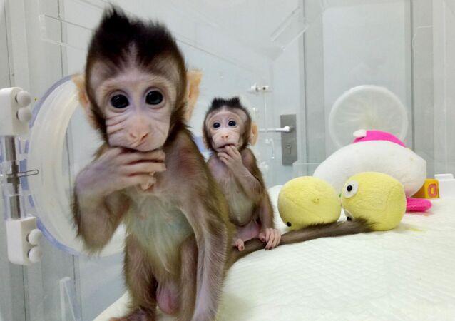 Klonované opice Zhong Hua a Hua Zhong