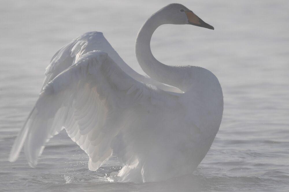 Krása labutího jezera v Altajském kraji