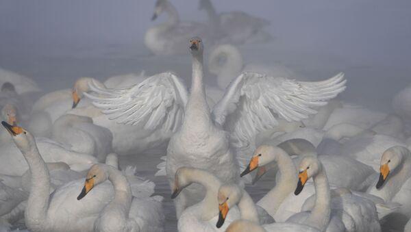 Krása labutího jezera v Altajském kraji - Sputnik Česká republika