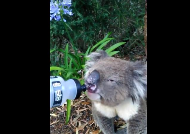 V Austrálii cyklista zachránil koalu před dehydratací