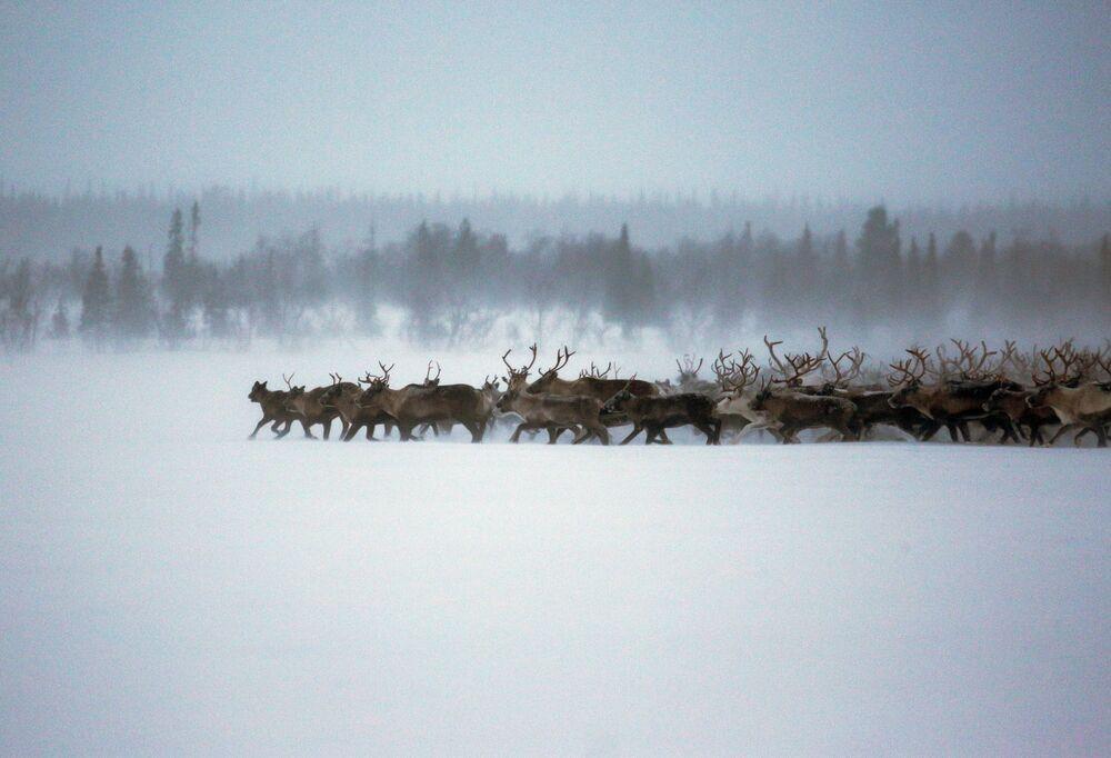 Každodenní život sobů v Murmanské oblasti