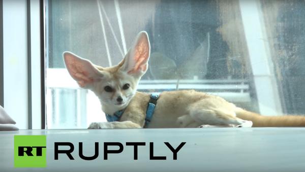 Ušaté lišče z Ruska si podmanilo internet - Sputnik Česká republika