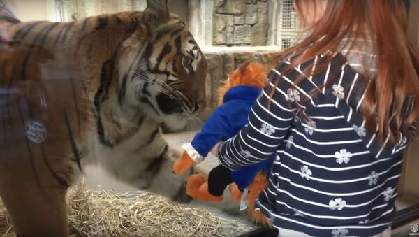 Tygr v americké zoo se pokusil ukrást děvčeti hračku - Sputnik Česká republika