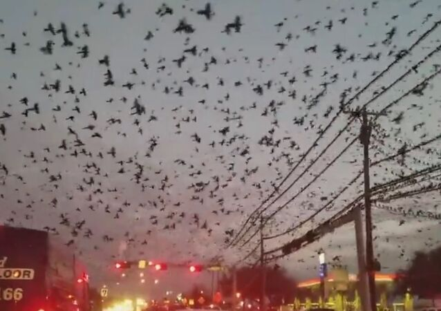 Hitchcock o tom ani nesnil: v Texasu natočili ptačí invazi