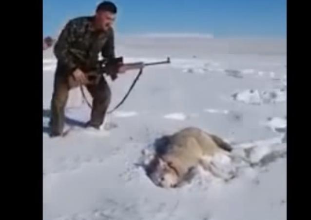 Vlk předstíral, že je mrtvý, a napadl lovce, když ho ten kopl
