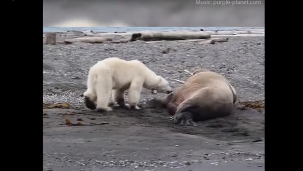Ospalý mrož zahnal nesmělou lední medvědici s medvídkem - Sputnik Česká republika