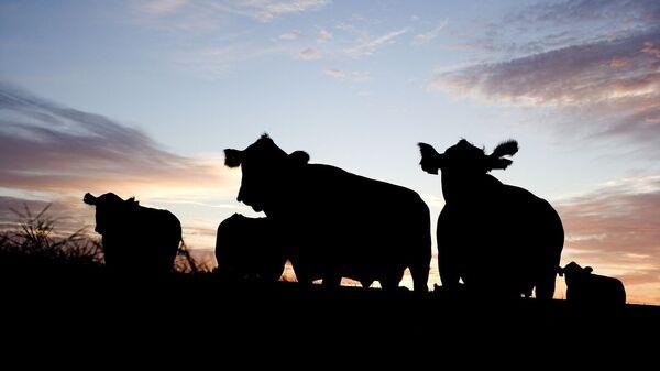 Krávy. Ilustrační foto - Sputnik Česká republika