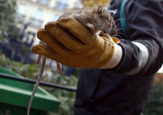 Krysa v Paříži