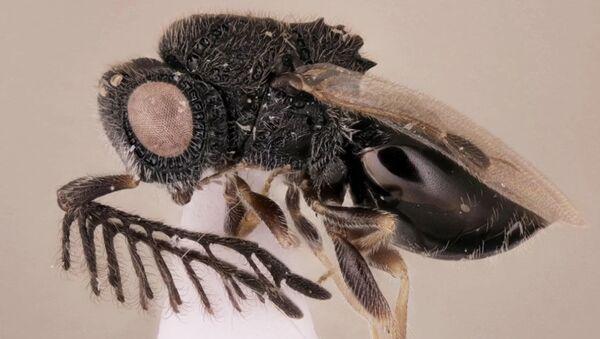 Byla nalezena vosa parazit, vyzbrojená pilou - Sputnik Česká republika