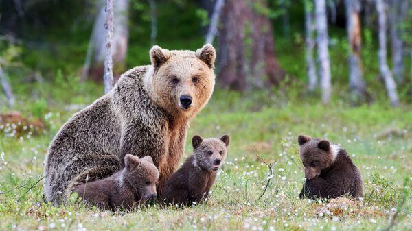 Medvědice s medvíďaty v Tajze. Ilustrační foto - Sputnik Česká republika
