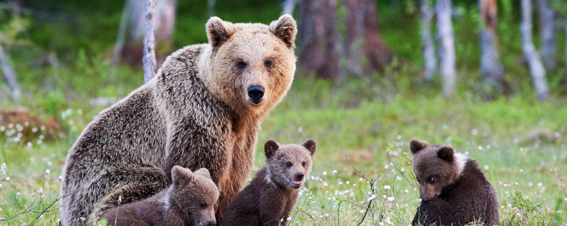 Medvědice s medvíďaty v Tajze. Ilustrační foto - Sputnik Česká republika, 1920, 03.06.2021