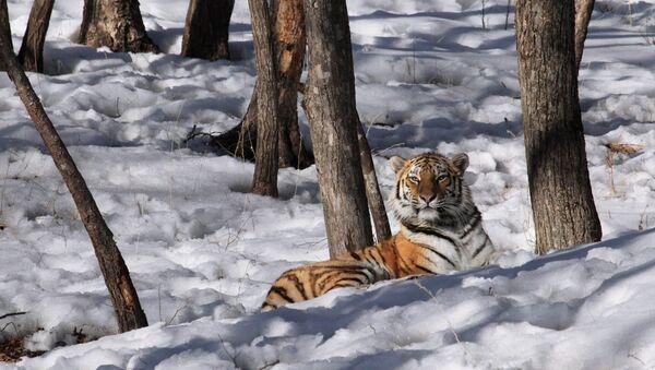 Amurská tygřice. Ilustrační foto - Sputnik Česká republika