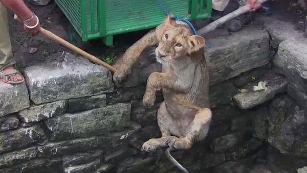 Záchrana lvice ve vesnici Amrapur - Sputnik Česká republika