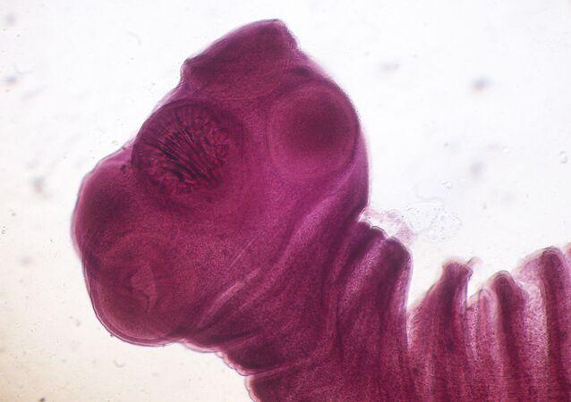 Tasemnice vepřová